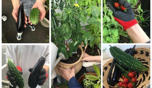 お野菜の自家栽培、試験中です